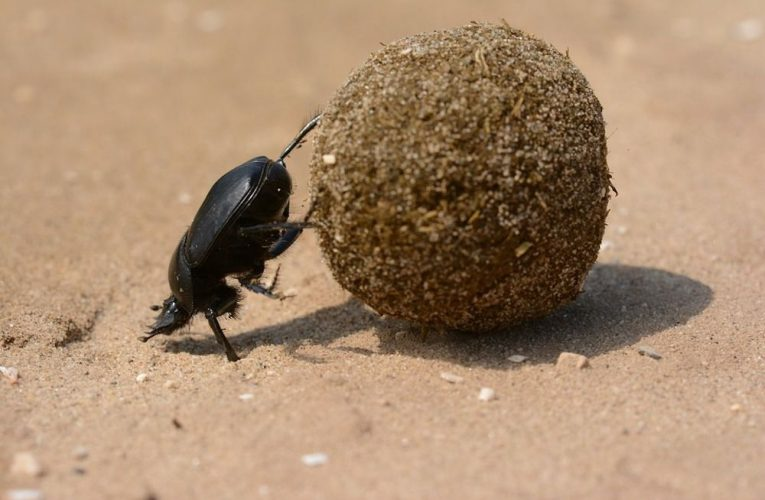 The Nature Journal with Tim Neary – The Dance of the Dung Beetle